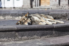 Mongrel dog lying on steps of park Stock Photos
