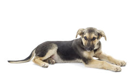 Mongrel dog. Lying on a white background Royalty Free Stock Images