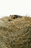 Dog in the manger Stock Photography