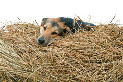 Dog in the manger Royalty Free Stock Photos
