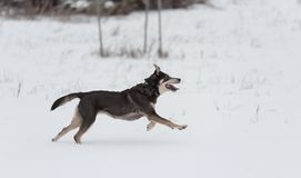 Mongrel dog playing in the Stock Images