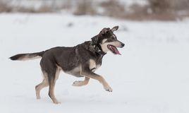 Mongrel dog playing in the Stock Photo