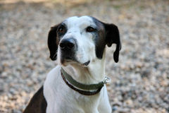 Mongrel dog portrait Royalty Free Stock Photos