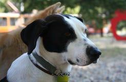 Mongrel dog portrait Royalty Free Stock Photo