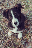 Mongrel dog. Portrait of black and white mongrel dog Stock Photos