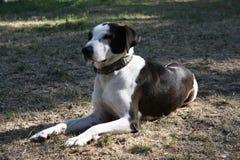 Mongrel dog posing Stock Images