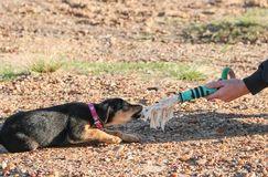 Mongrel puppy playing on the beach pet friendly. Mongrel dog puppy playing on the beach Royalty Free Stock Image