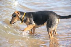 Mongrel puppy playing on the beach pet friendly. Mongrel dog puppy playing on the beach Royalty Free Stock Photography
