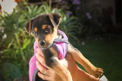 Black mongrel dog puppy raised in the hands. Mongrel dog puppy raised in the hands Royalty Free Stock Photography