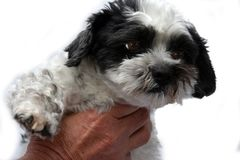 Cute little dog with big eyes. Mongrel dog puppy  between shih tzu and maltese dog  with big astonished eyes is held by male hand Stock Image