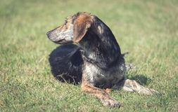 Mongrel dog relaxing in the park. Mongrel dog relaxing on the green grass in park Stock Image
