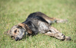 Mongrel dog relaxing in the park. Mongrel dog relaxing on the green grass in park Royalty Free Stock Photo