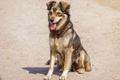 The Mongrel Dog Royalty Free Stock Images
