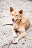 Mongrel dog sitting on the sand Royalty Free Stock Images