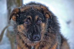 Mongrel dog in the snow Royalty Free Stock Photo