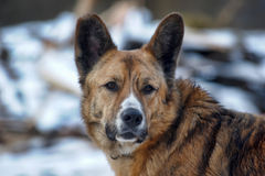 Mongrel dog in the snow Stock Images