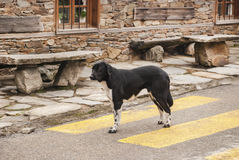 Mongrel dog standing on crosswalk Royalty Free Stock Photos