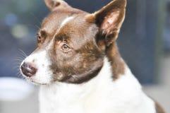 Mongrel dog or street dog. Mongrel dog or a brown street dog Royalty Free Stock Photo