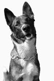 Mongrel dog. With a strong collar around his neck Royalty Free Stock Photography