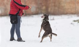 Mongrel dog in training with owner Royalty Free Stock Image