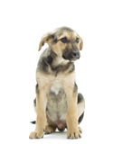 Mongrel dog. On a white background Royalty Free Stock Images