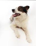 Mongrel dog on white Stock Photos