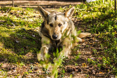 Mongrel dogs lie quiet on the a forest trail with sad look Royalty Free Stock Photos