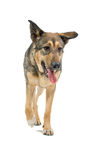Mongrel German Shepherd dog Stock Photo