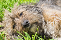 Mongrel on the green lawn Royalty Free Stock Photo