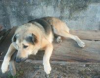 Mongrel. Half breed dog Stock Photos