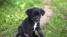 Mongrel puppy, black coloring eats grass slow