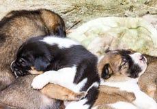 Mongrel puppy Stock Photo