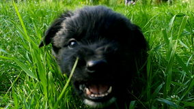Mongrel puppy on grass stock video