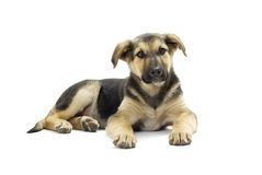 Mongrel puppy looks Stock Photography