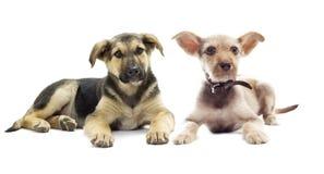 Mongrel puppy looks Stock Image