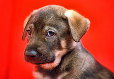 Mongrel puppy Stock Image