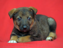 Mongrel puppy Royalty Free Stock Images