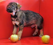 Mongrel puppy Royalty Free Stock Image