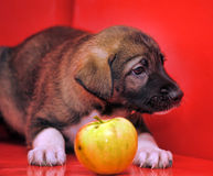 Mongrel puppy Stock Photography
