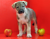 Mongrel puppy Royalty Free Stock Photography