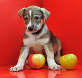 Mongrel puppy Stock Images