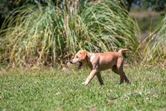 Mongrel puppy walking on the grass royalty free stock images