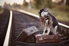 Mongrel on rails with suitcases. Royalty Free Stock Photography
