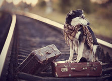 Mongrel on rails with suitcases. Stock Photo