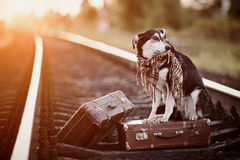 Mongrel on rails with suitcases. Stock Image