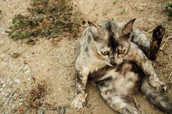 Mongrel stray cat sitting on ground. Mongrel cat rise teg up and look forward in my village Royalty Free Stock Images