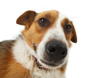 Mongrel stray dog Royalty Free Stock Photos