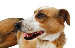 Mongrel stray dog Stock Images