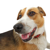 Mongrel stray dog Stock Photography