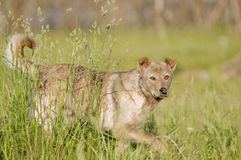 Mongrel wild dog Stock Photos